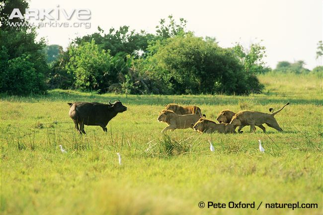 African lions have the physical strength to hunt the larger antelopes.