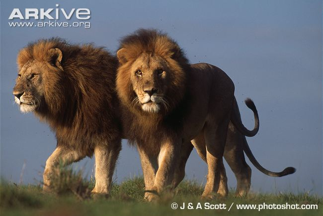 Male African lions with manes