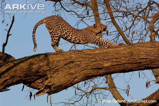 African Leopard by Pete Oxford