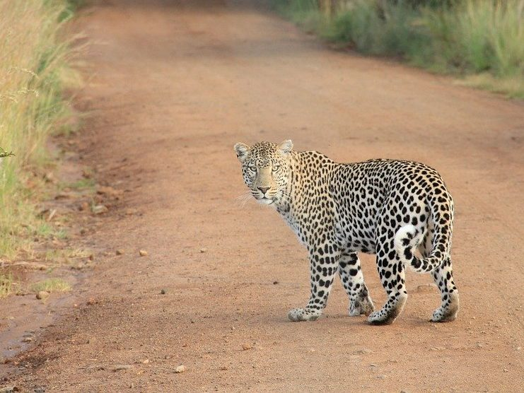 African Leopard by Free-Photos