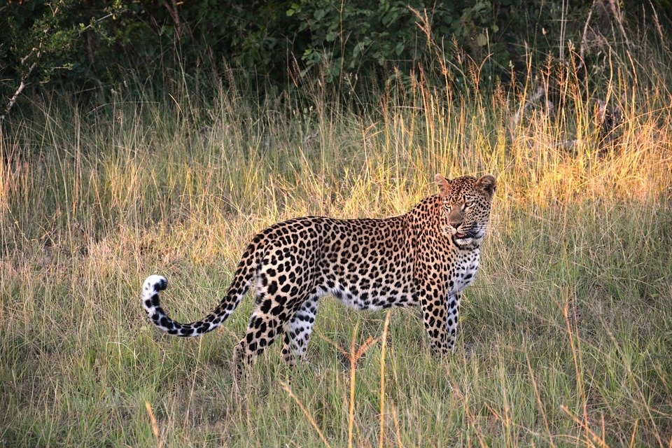 African Leopard by Patrizia